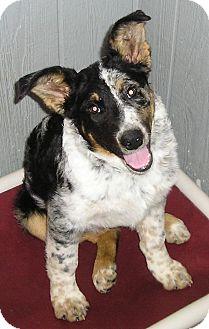 Australian Shepherd Mix Puppy for adoption in Glenwood, Minnesota - Captain