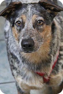 Blue Heeler/Australian Shepherd Mix Dog for adoption in Yuba City, California - Jax
