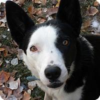 Adopt A Pet :: Breezy - Denver, CO