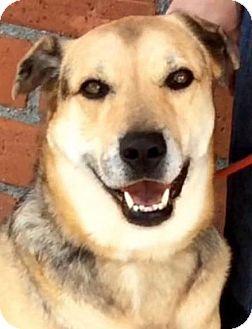 Shepherd (Unknown Type)/Catahoula Leopard Dog Mix Dog for adoption in Los Angeles, California - CAROLINA (video)