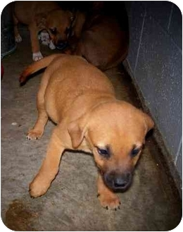 Boxer/Labrador Retriever Mix Puppy for adoption in Shelbyville, Kentucky - Puppies- Boxer/Lab