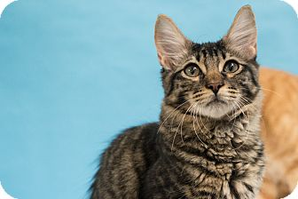 Domestic Shorthair Kitten for adoption in Houston, Texas - Fievel Mouskowitz
