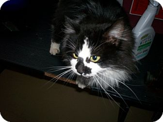 Domestic Longhair Cat for adoption in Newburgh, Indiana - Oreo