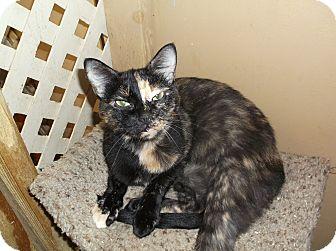 Domestic Shorthair Cat for adoption in Arkadelphia, Arkansas - Molasses