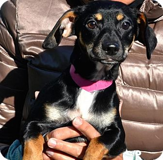 Dachshund/Terrier (Unknown Type, Small) Mix Puppy for adoption in Freeport, New York - Glory