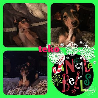 Terrier (Unknown Type, Small) Mix Dog for adoption in Snyder, Texas - Teko