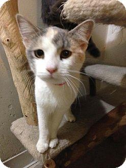 Calico Kitten for adoption in Columbus, Ohio - Beulah