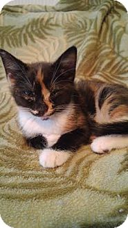 Domestic Mediumhair Kitten for adoption in Jacksonville, Florida - Donut & Muffin