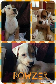 American Staffordshire Terrier/Boxer Mix Puppy for adoption in Rigaud, Quebec - Bowzer