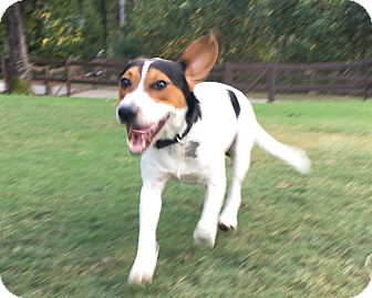 Beagle/Pointer Mix Dog for adoption in Birmingham, Alabama - Bo