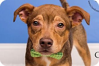 Jack Russell Terrier/Terrier (Unknown Type, Medium) Mix Dog for adoption in Cincinnati, Ohio - Cappy