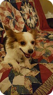 Papillon/Chihuahua Mix Dog for adoption in Goodyear, Arizona - Mindi