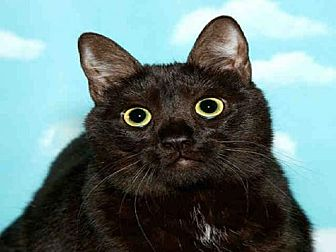 Domestic Mediumhair Cat for adoption in Alameda, California - MADELEINE