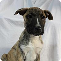 Adopt A Pet :: Doris pup - Pompton Lakes, NJ