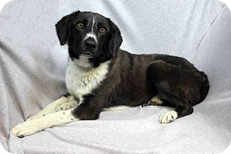 Border Collie Mix Dog for adoption in Westminster, Colorado - Ava