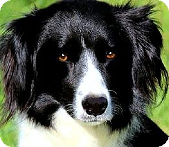 Border Collie Dog for adoption in Wakefield, Rhode Island - RAVEN(BORDER COLLIE PETITE!