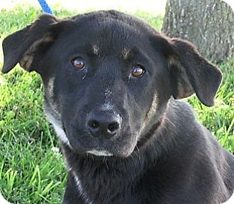 German Shepherd Dog/Rottweiler Mix Puppy for adoption in Germantown, Maryland - Clive