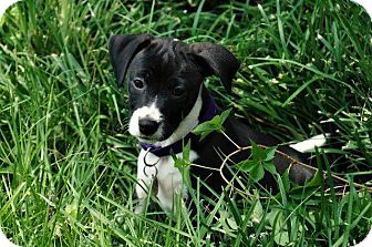 Border Collie/Terrier (Unknown Type, Small) Mix Puppy for adoption in Little Rock, Arkansas - Arya