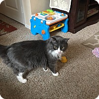 Maine Coon Cat for adoption in San Diego, California - Pepito
