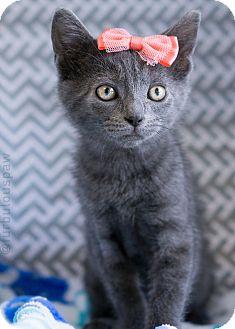 Russian Blue Kitten for adoption in Montclair, California - Blair