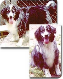 Border Collie Mix Dog for adoption in Stephentown, New York - Sam