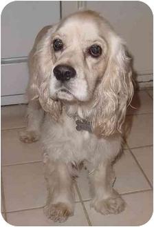Cocker Spaniel Dog for adoption in Sugarland, Texas - Jeep