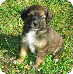 Labrador Retriever/Border Collie Mix Puppy for adoption in Portsmouth, Rhode Island - Sadie Girl