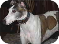 Greyhound Dog for adoption in St Petersburg, Florida - Diamond