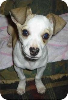 Chihuahua Mix Puppy for adoption in Sacramento, California - Myron!