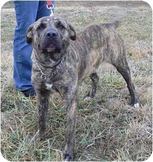 Mastiff Mix Dog for adoption in St. James, Missouri - Simpson