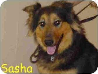 Collie Mix Dog for adoption in San Diego, California - Sasha