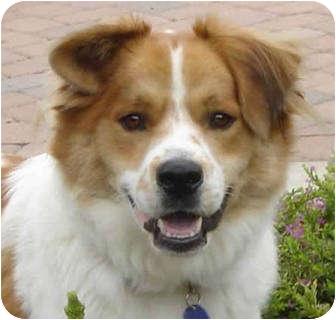 Anatolian Shepherd/Chow Chow Mix Dog for adoption in Pasadena, California - TUCKER
