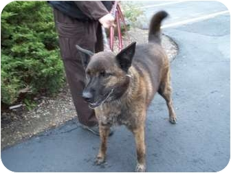 Shepherd (Unknown Type) Mix Dog for adoption in Lapeer, Michigan - MAX-URGENT!!