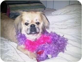 Pekingese Dog for adoption in Molalla, Oregon - Cindy