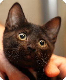 Domestic Shorthair Kitten for adoption in Winston-Salem, North Carolina - Topper