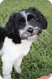 Poodle (Miniature)/Shih Tzu Mix Dog for adoption in Bedminster, New Jersey - Thunder