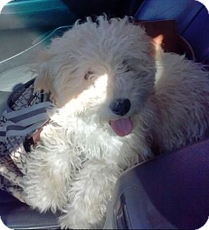 Poodle (Miniature) Mix Puppy for adoption in Houston, Texas - Muppet