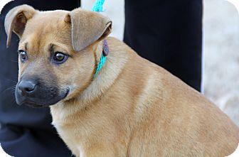 Mastiff/German Shepherd Dog Mix Puppy for adoption in Pewaukee, Wisconsin - Hermes