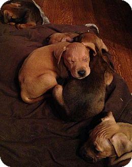Feist/Dachshund Mix Puppy for adoption in CHICAGO, Illinois - DERRICK