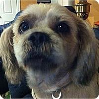 Adopt A Pet :: Cowboy-PA - Emmaus, PA