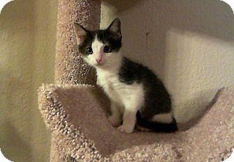 Domestic Shorthair Kitten for adoption in Mansfield, Texas - Lil Bit