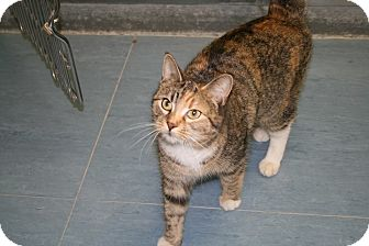 Domestic Shorthair Cat for adoption in Jackson, New Jersey - Pearl