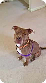 American Pit Bull Terrier/American Staffordshire Terrier Mix Dog for adoption in Peoria, Illinois - Toby