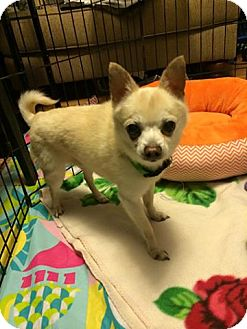 Chihuahua Mix Dog for adoption in Staunton, Virginia - Stevie