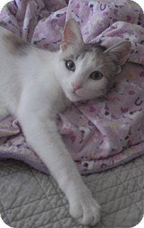 Domestic Shorthair Cat for adoption in Quail Valley, California - Meeshka