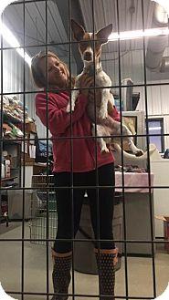 Terrier (Unknown Type, Medium)/Corgi Mix Dog for adoption in Detroit Lakes, Minnesota - Lilli