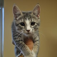 Domestic Mediumhair/Domestic Shorthair Mix Kitten for adoption in Pompano Beach, Florida - 6108