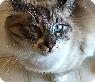 Siamese Cat for adoption in Port Angeles, Washington - Merlin