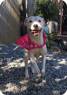 Pit Bull Terrier Mix Dog for adoption in Greensboro, North Carolina - Sarah