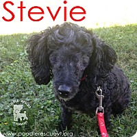 Adopt A Pet :: Stevie - Essex Junction, VT